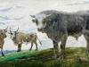 Цыренжап СампиловичСампилов Любопытные быки